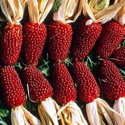Hạt giống Ngô mini đỏ