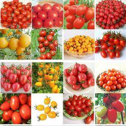 Hạt giống bán sỉ cà chua nhiều loại - Hạt giống cà chua giá sỉ nhiều loại giá sỉ