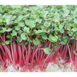 Hạt giống Rau mầm củ cải đỏ 20G giá sỉ