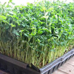 Hạt giống Rau cải mầm Đậu Hà Lan 100G giá sỉ
