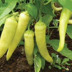 hạt giống ớt sừng vàng châu phi giá sỉ