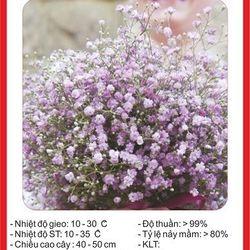 Hạt giống hoa Baby Mix nhiều màu - 100 hạt giá sỉ