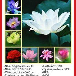 Hạt giống Sen mini Nhật 8 hạt -8 màu giá sỉ