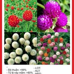 Hạt giống hoa Cúc Bách Nhật mix nhiều màu - 100 hạt giá sỉ