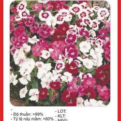 Hạt giống hoa Cẩm Chướng Đơn mix nhiều màu - 100 hạt giá sỉ