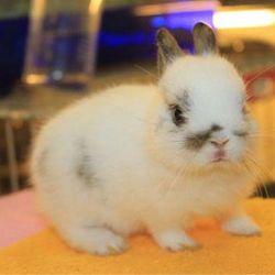 Thỏ kiểng Nhật siêu kute giá sỉ