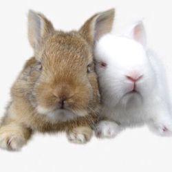 Bán thỏ Nhật Bản siêu kute giá tốt giá sỉ