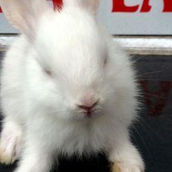 Thỏ kiểng Hà Lan siêu kute giá tôt giá sỉ