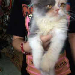 Bán mèo Ba Tư siêu dễ thương ạ giá sỉ