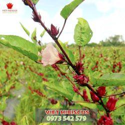 Hoa Atiso đỏ tươi - Hoa Hibiscus tươi - Hoa bụp giấm tươi đã tách hạt sẵn giá sỉ, giá bán buôn