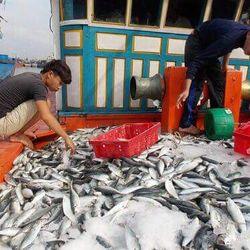cá nục cá ngừ do tàu nhà đánh bắt giá sỉ
