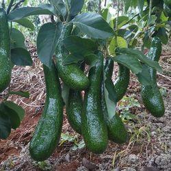 Nhận Ghép Cải Tạo Các Loại Bơ Chuyển Đổi Thành Bơ 034 - Vườn Bơ Dậu Loan giá sỉ