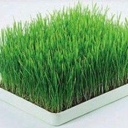 hạt cỏ mèo giá sỉ