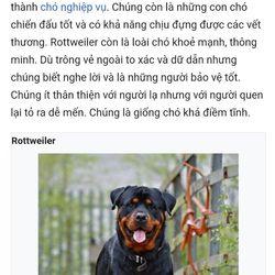 Chó ĐỨC ROTTWEILER dòng Đại giá sỉ