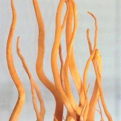 Đông trùng hạ thảo tươi đông trùng hạ thảo khô được viện bảo vệ thực vật nuôi trồng giá sỉ, giá bán buôn