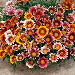 hạt giống cúc huân chương hoa bốn mùa giá sỉ
