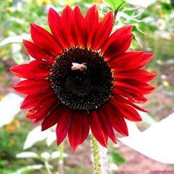 hạt giống hướng dương đỏ bông lớn dễ trồng giá sỉ