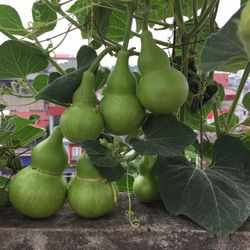 hạt giống bầu hồ lô cao sản một tháng giá sỉ
