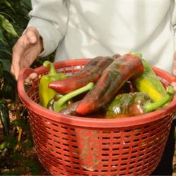 hạt giống ớt ngọt sừng bò khổng lồ gói 200 hạt giá sỉ