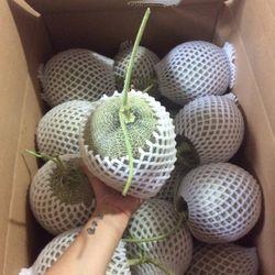 Dưa Lưới TL3 Được trồng trong nhà kính theo tiêu chuẩn công nghệ cao VietGlobal Hàng rât giòn ngot độ ngọt đạt 15brix trái tu 14-16 kg/quả Giá sỉ 45k/kg Sỉ tu 50kg giá sỉ