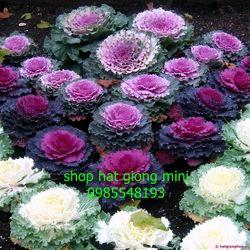 hạt giống hoa bắp cải gói 10 hạt giá sỉ