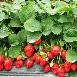 Hạt giống dâu tây đỏ chịu nhiệt gói 100 hạt giá sỉ