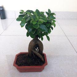 Cây si bonsai nhật giá sỉ
