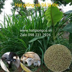 Hạt giống cỏ Ghine Mombasa giá sỉ