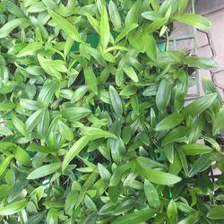 Hoa lan Thái Lan giá sỉ