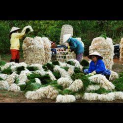 Củ kiệu đặc sản vùng đất Bình Định giá sỉ