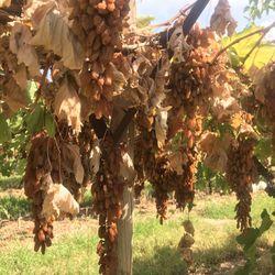 Nho Khô Nguyên Cành Úc Thùng 4 kg - Thompson Gold Grapes Adora ST Food 4 kg giá sỉ giá bán buôn giá sỉ
