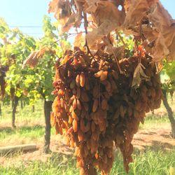 Nho Khô Nguyên Cành Úc Thùng 4 kg - Thompson Premium Grapes Adora ST Food 4 kg giá sỉ