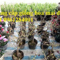 Cung cấp số lượng lớn hoa mai đỏ hoa đào đỏ mai đỏ chơi tết giao hàng toàn quốc giá sỉ