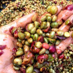 Cà phê nhân sống robusta honey s16-18 giá sỉ