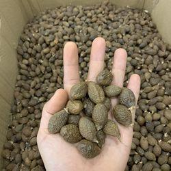 Hạt ươi rừng, hạt lười ươi, hạt đười ươi Lâm Đồng giá sỉ