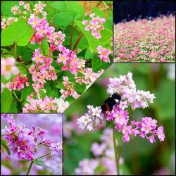Gói 100 hạt giống hoa tam giác mạch giá sỉ